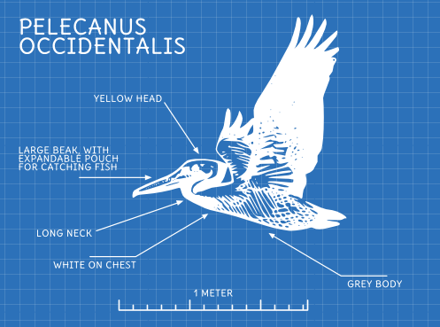 Blueprint style diagram showing a brown Pelican